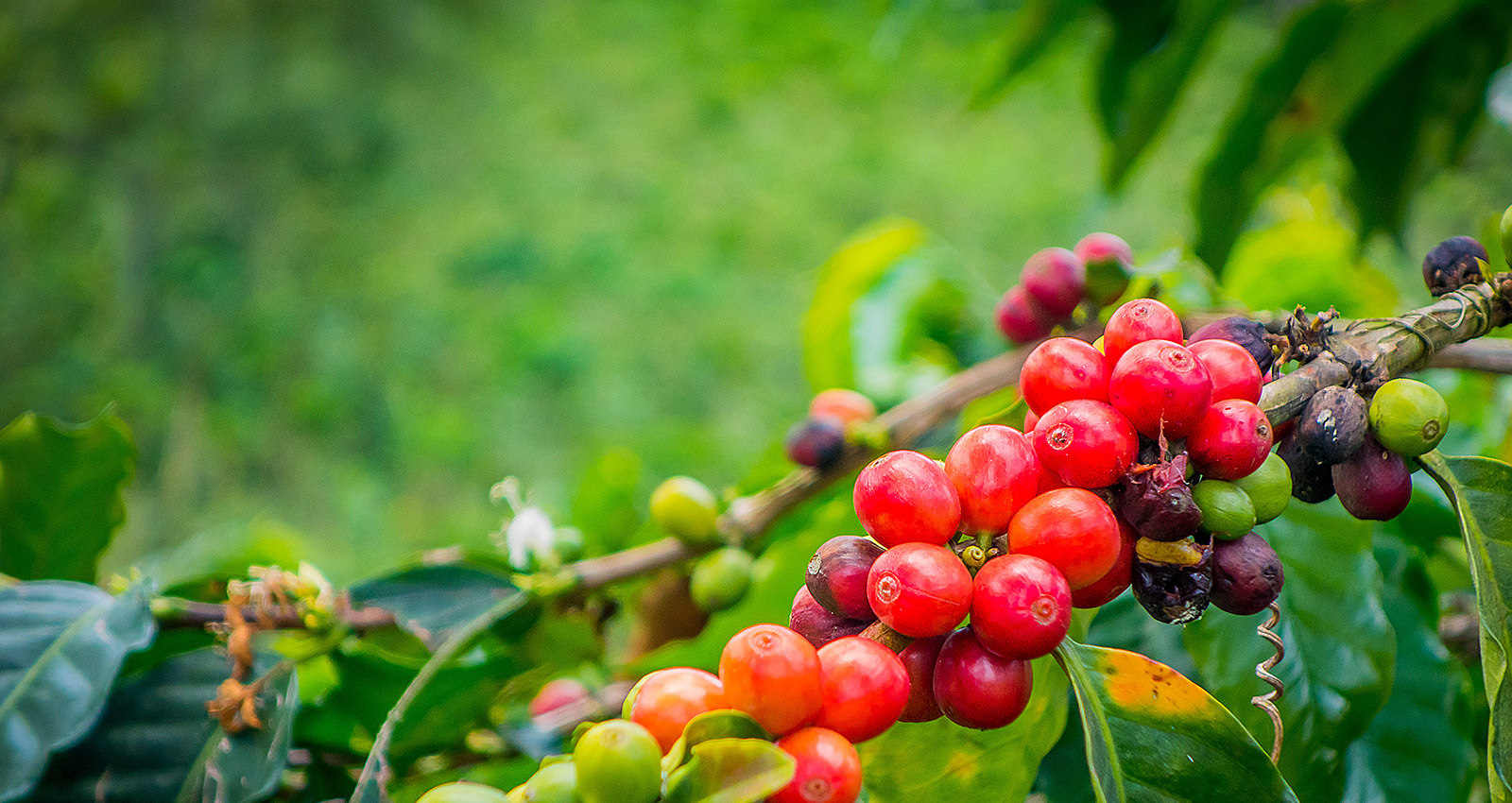 coffee-crop-protection